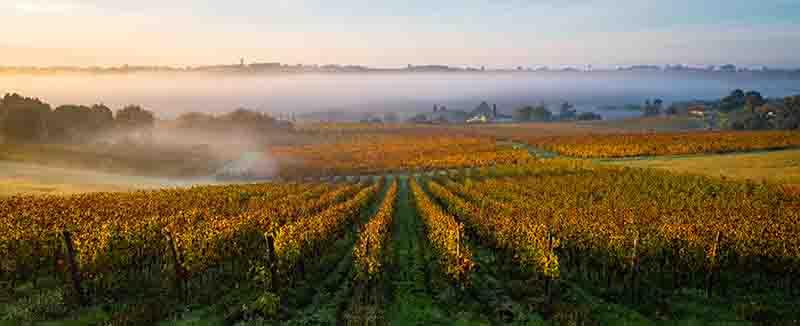 葡萄畑の霧