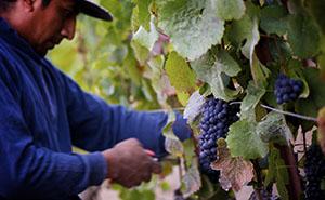 Robert Sinskey Vineyardsの葡萄畑