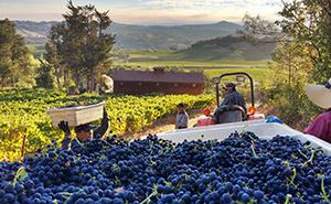 Blue Rock Vineyardの葡萄畑