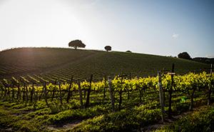 Cave Dog Winesの葡萄畑