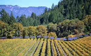 Keenan Wineryの葡萄畑
