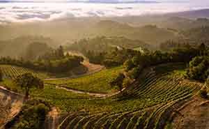 Spring Mountain Vineyardの葡萄畑